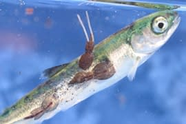 Juvenile salmon with sea lice
