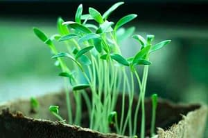 Plant starts and seedlings