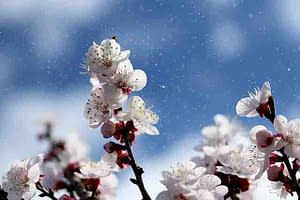 fruit trees blooming
