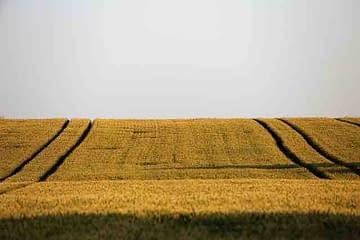 Mono-culture of wheat