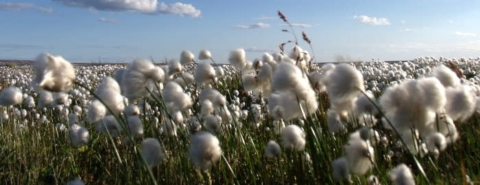 field of cotton growing