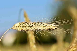 modern wheat stalk