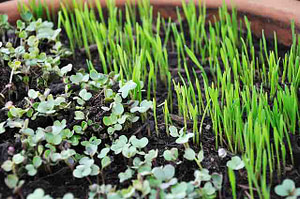 sprouts in soil microgreens