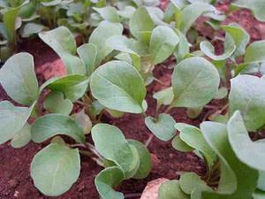 arugula sprouts in earth