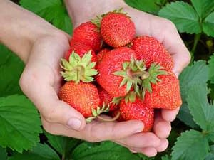 Strawberries, leaves, hands