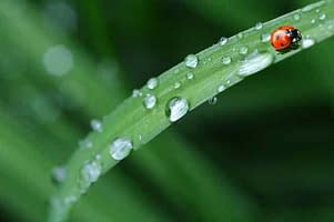 ladybug on a blade of grass with water droplets